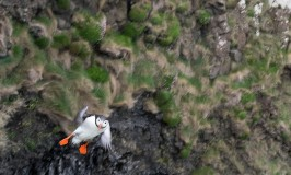 flying-puffin